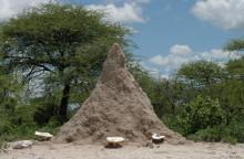 Ein Termitenhügel mit Omajova Pilzen, 2004