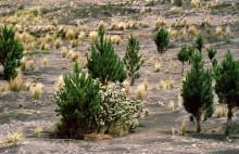 Kiefernanpflanzung auf der Hochebene