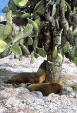 Seelöwen unter einer Opuntie