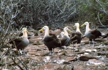 Balzende Albatrosse auf Espanola, 12.10.