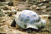 Riesenschildkröte in der Darwin Station auf Santa Cruz, 13.10.