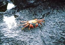 Rote Krabben, Las Bachas, 14.10.
