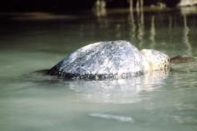 Meeresschildkröte, 15.10.