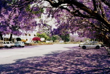Jacaranda Zeit in Harare im September 1983
