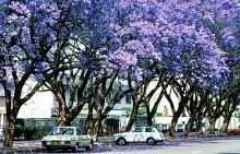 Blühende Jacarandas in Harare