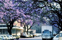 Die Jacarandas blühen in Harare, September 1983