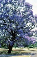 Im Stadtpark von Harare zur Jacaranda Blütezeit