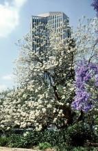 Weiße und lila Jacaranda Blüten