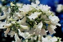 Weiße Jacaranda Blüten