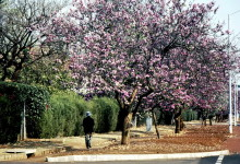 Bauhinia Bäume in Harare, September 1983