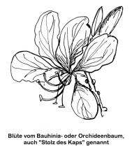 Bauhinia Blüte