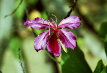 Bauhinea Blüte