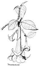Trompetenblume in Eikes Garten, 1985