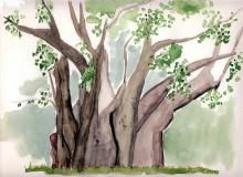 """Der """"big tree"""" bei den Viktoria Fällen, 5.4.1988"""