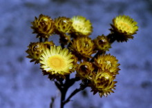 Helichrysum nitens - Shining Everlasting