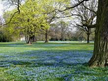 Im Magdeburger Nordpark blühen die Blausterne