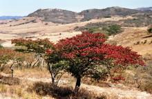 Msasa Bäume im High Veld