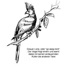 Der Graulärmvogel in Epworth, August 1999