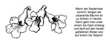 Jacaranda Blüten in Harare im September 1999