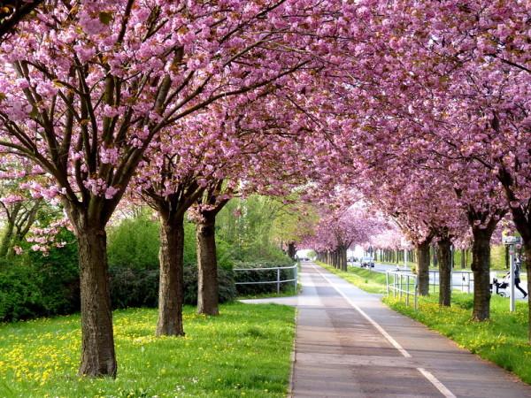 Kirschblüte im Holzweg