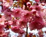 Japanische Kirschbäume blühen im Holzweg