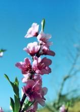 Pfirsichblüten bei Blue Haze, 18.7.1990