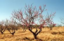 Blühende Pfirsichbäume