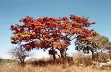 Msasa Bäume bei Malwatte