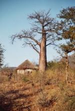 Baobab bei Hot Springs, 4.9.1999
