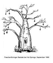 Baobab bei Hot Springs
