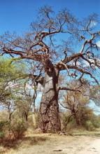 Affenbrotbaum bei den Heißen Quellen, 4.9.1999