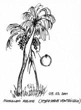 Makalani Palme, Palmwag, 5.3.