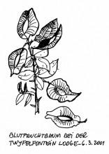 Blutfruchtbaum, 7.3.