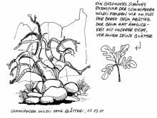 Commiphora wildii, Twyfelfontein, 7.3.