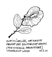 Frucht vom Blutfruchtbaum, 14.3.