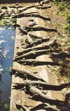 In der Krokodilfarm, 5.4.1988