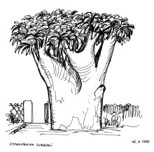 Der älteste Botterboom auf Ameib, 16.4.1993