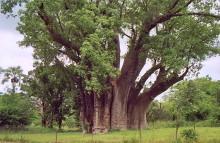 "Am ""big tree"""