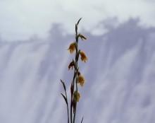 Nasse Gladiolen Blüten