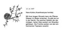 Nara Kürbis, im Sossusvlei, 10.9.1999