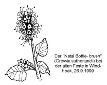 Natal Bottlebrush bei der Alten Feste in Windhoek, 26.9.1999