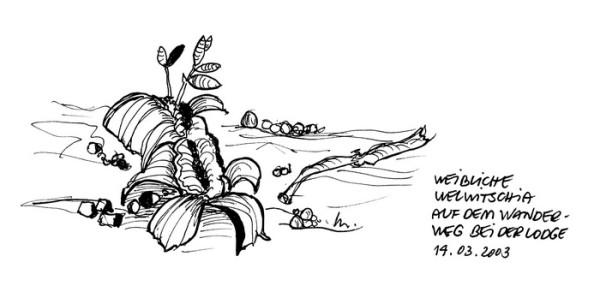 Welwitschia mirabilis auf dem Spaziergang bei der Palmwag Lodge, 14.4.