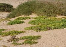 Polsterpflanzen auf Wüstenquell, 17.11.03