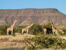 Giraffen Begrüßung, 16.07.