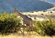Giraffenmutter mit Jungem, 17.07.
