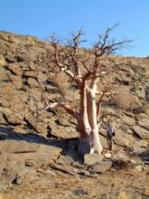 Maßstab für den Moringa Baum, 11.11.