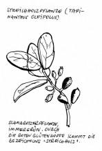 Streichholzpflanze, Klein-Tinkas, 12.11.