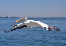 Pelikanbegleitung bei der Mola-Mola Fahrt in Walvis Bay, 13.11.