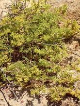 Polsterpflanze im Swakoptal, 14.11.