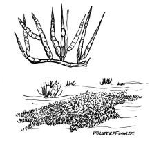 Polsterpflanze